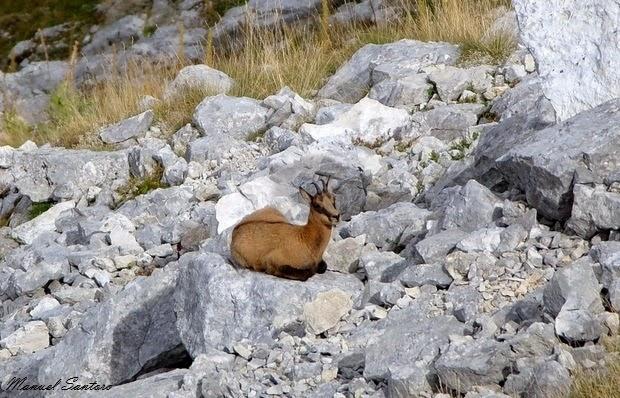 Parco Nazionale d'Abruzzo, Passo Cavuto, camosci