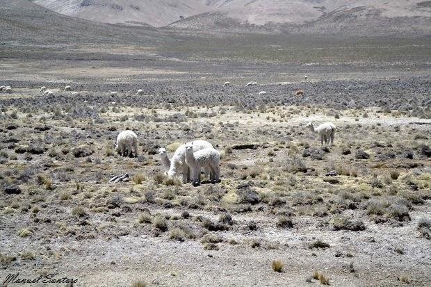 Reserva Nacional Salinas y Aguada Blanca, alpaca