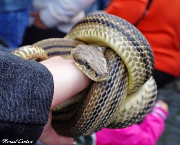 Cocullo, serpenti alla Festa dei Serpari