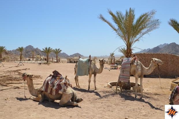 Dromedari nei pressi di Sharm El Sheikh